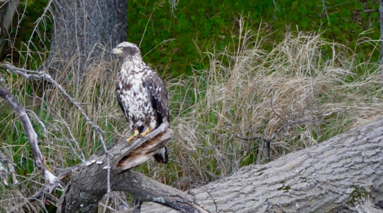 Deer Lake Improvement Association Golden Eagle on a log