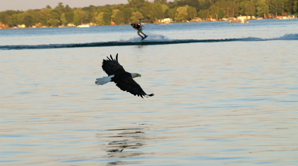 Deer Lake Improvement Association eagle on the water